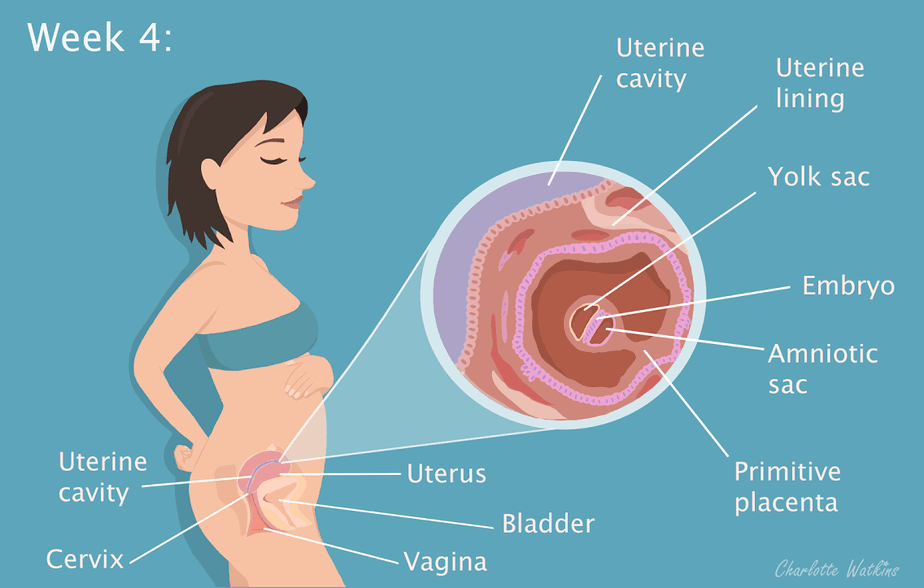 4 weeks pregnant - the science part - Image by Charlotte Watkins - Charlottewatkins.co.uk