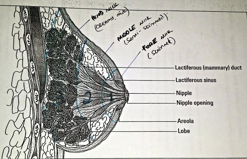 Breast lactation