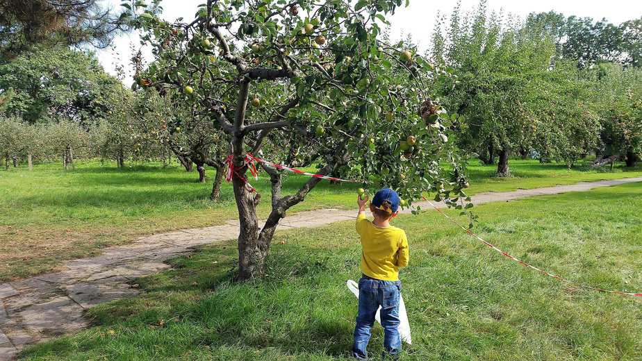 Aidan busy picking apples from the tree - motherhooddiaries