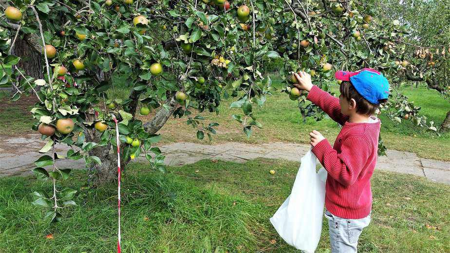 Aron picking apples from the tree - motherhooddiaries
