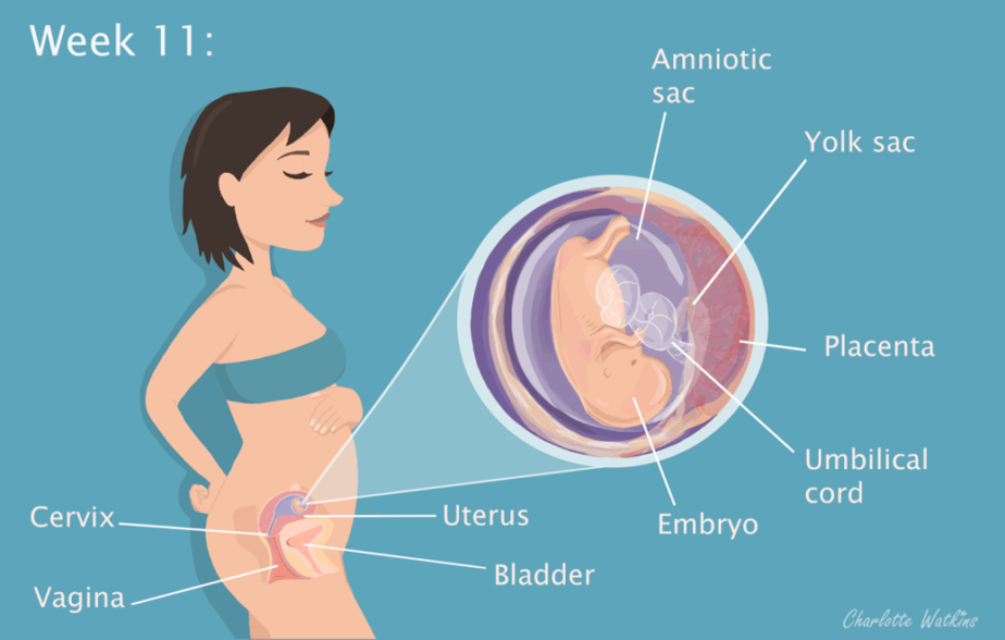 11 weeks pregnant - The science part