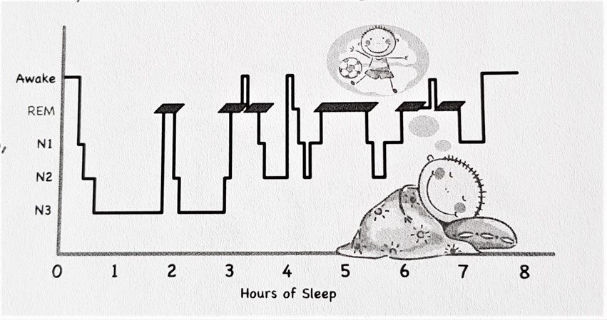Sleep Cycle from The Sleep Council