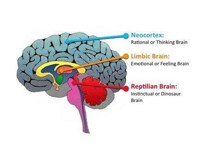 Our brain - neocortex, limbic and reptilian brain